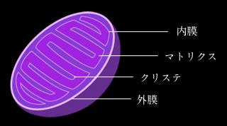 -人の免疫、肌の美しさ(細胞活性)を担うミトコンドリア- ミトコンドリアは、ほとんどすべての生物の細胞に含まれている細胞内構造物の一つを指します。 近年の研究で人体に存在する通常のDNAとは異なるDNA(通称ミトコンドリアDNA)が発見され、近年ではミトコンドリアは、過去、人間に寄生した寄生虫だという説がかなり有力視されています。 また、ミトコンドリアへの影響は、母親からのものが100%であるともいわれています。